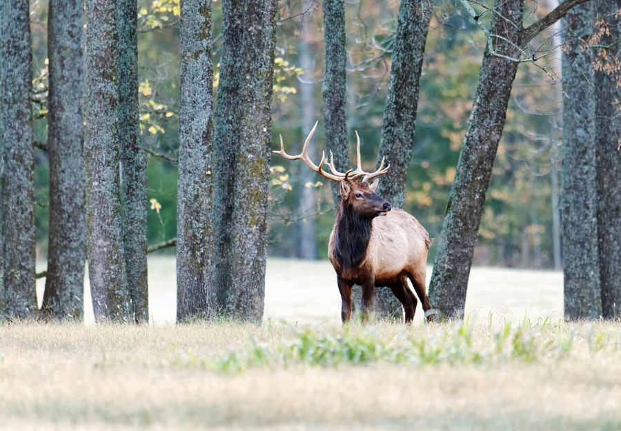 Fall Elk-Watching Season Now Prime in Ponca